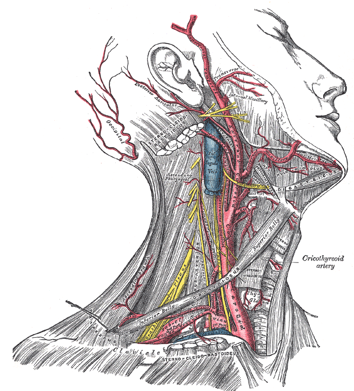 Arteries of the Head and Neck, External Carotid, Internal Jugular Vein, External Maxillary,