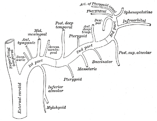 Plan of branches of maxillary artery, External Carotid Branches