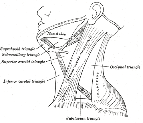 Triangle of the Neck, Occipital Triangle, Subclavian Triangle, INferior Carotid Triangle, Superior Carotid Triangle, Submaxillary triangle, Suprahyoid Triangle, Mandible, Sternocleidomastoideus, Trapezius