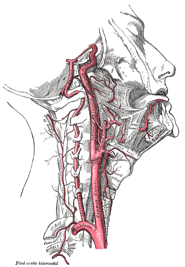 The internal carotid and vertebral arteries. Right side.