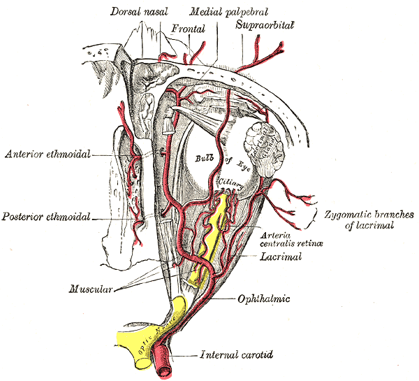 Arteries of the Eye, Ophthalmic Artery; Internal Carotid Artery