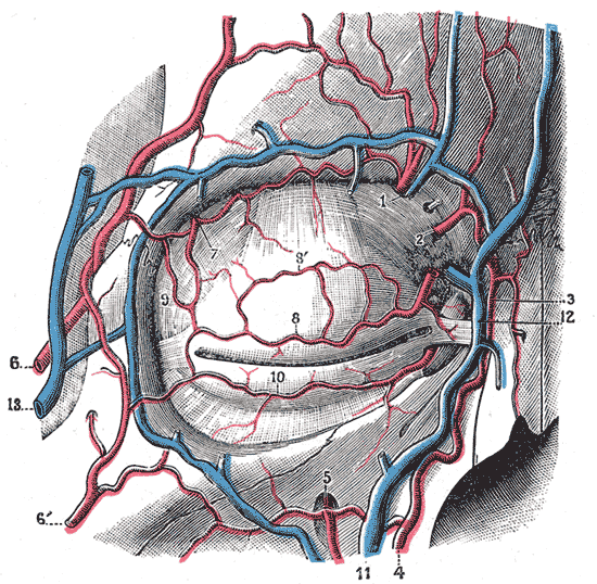 Bloodvessels of the eyelids, front view. 1, supraorbital artery and vein; 2, nasal artery; 3, angular artery, the terminal branch of 4, the facial artery; 5, suborbital artery; 6, anterior branch of the superficial temporal artery; 6', malar branch of the transverse artery of the face; 7, lacrimal artery; 8, superior palpebral artery with 8', its external arch; 9, anastomoses of the superior palpebral with the superficial temporal and lacrimal; 10, inferior palpebral artery; 11, facial vein; 12, angular vein; 13, branch of the superficial temporal vein.