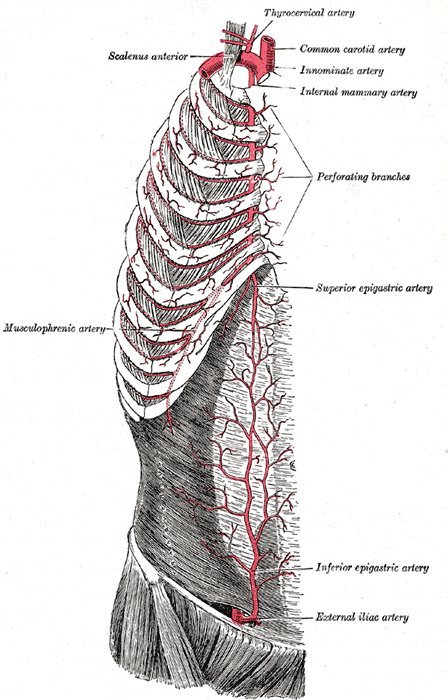 Superficial Arteries of the Chest and Abdomen; Right side, Musculophrenic Artery, Scalenus Anterior, Thyrocervical Artery, Common Carotid Artery, Innominate Artery, Internal Mammary Artery, Perforating Branches, Superior Epigastric Artery, Inferior Epigastric Artery, External Iliac Artery
