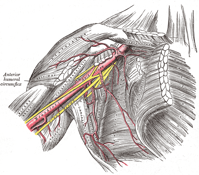 The axillary artery and its branches, Brachial Artery