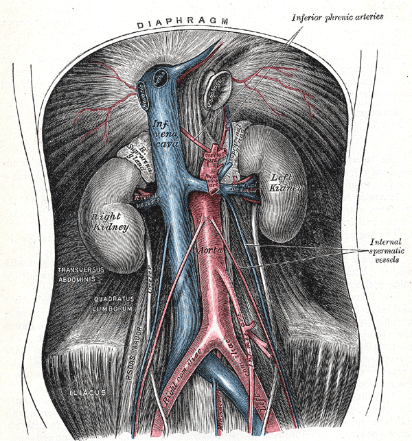 The abdominal aorta and its branches. Diaphragm, Inferior Phrenic arteries, Internal spermatic vessels, Left and Right Kidney, Inferior vena cava, Aorta, Transversus Abdominis, Quadratus lumborum, Right and left Iliac