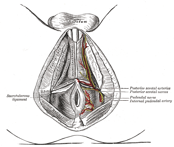 Perineal Arteries and Nerves, Male Perineum, Posterior Scrotal Arteries, Posterior Scrotal Nerve, Pudendal nerve, Internal Pudendal Artery