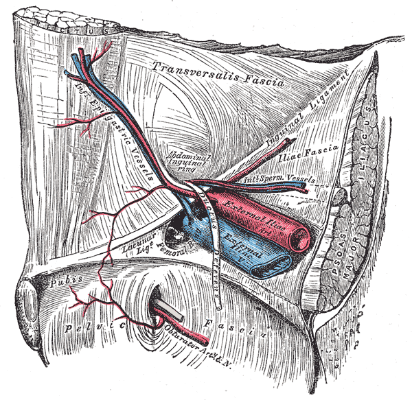 inferior epigastric artery and vein, External iliac Vein and Artery, Obturator Artery, Pelvic Fascia, Transversalis