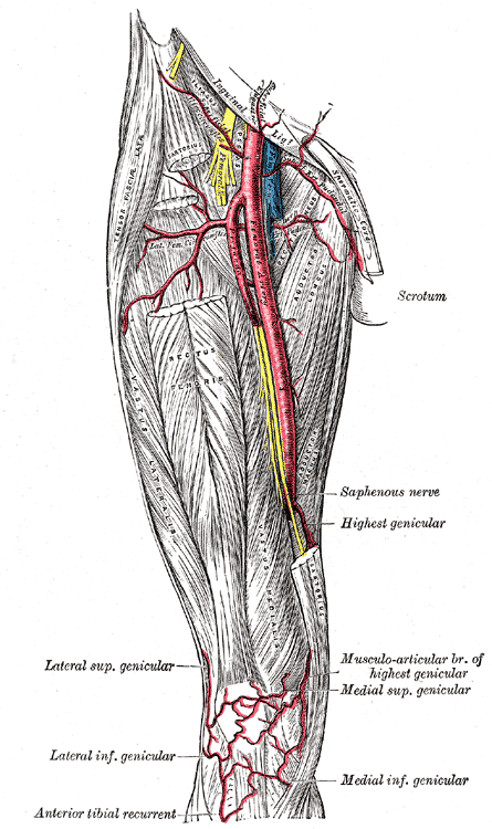 Femoral Artery and it's Branches