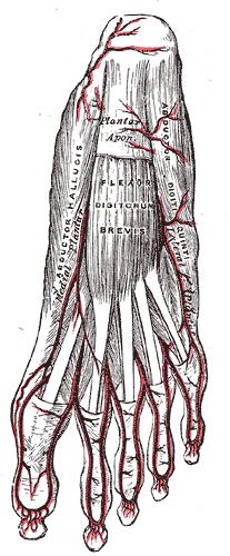 Artery Branches of the Foot