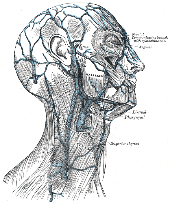Veins of the Neck Head and Face and their Branches; External and Internal Jugular Vein