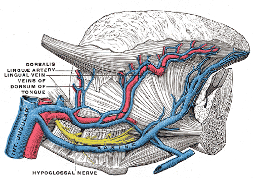 Arteries and the Veins of the Tongue, Internal Jugular vein, Dorsalis linguae artery, Lingual vein, Veins of Dorsum of Tongue, Hypoglossal nerve