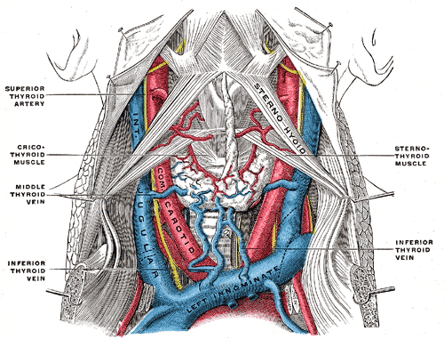 Jugular Veins and Arteries of the Neck; Colored diagram