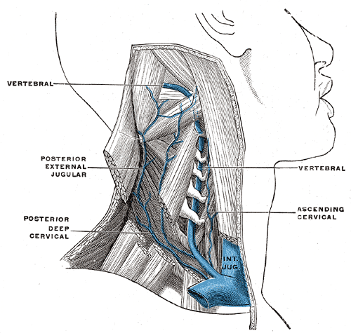 Internal Jugular vein and its Branches; In the Neck, Posterior External Jugular, Posterior Deep Cervical, Vertebral, Ascending cervical