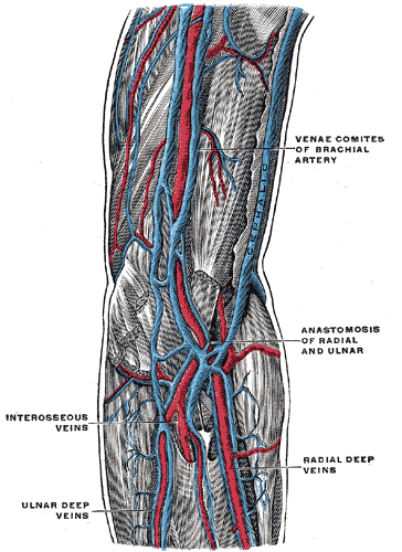 Brachial Arteries and Veins, Venae comites of brachial artery, Anastomosis of radial and ulnar, Radial deep veins, Interosseous veins, Ulnar deep veins