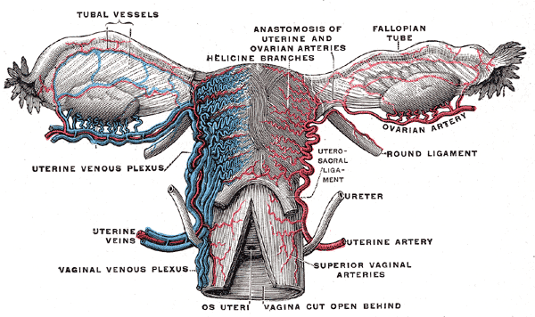 female reproductive system blood supply, Tubal Vessels, Anastomosis of uterine and ovarian arteries, Helicine branches, Fallopian tub, Ovarian artery, Uterine venous plexus, Uterosacral ligament, Ureter, Uterine artery and veins, Superior vaginal arteries, Vaginal venous plexus, Os uteri