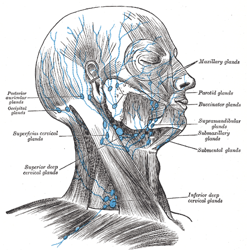 Lymph notes of the head and Neck, Posterior auricular glands, occipital glands, Superficial cervical glands, Superior deep cervical glands, Inferior deep cervical glands, Submental glands, Submaxillary glands, Supramandibular glands, Buccinator glands, Parotid glands, Maxillary glands