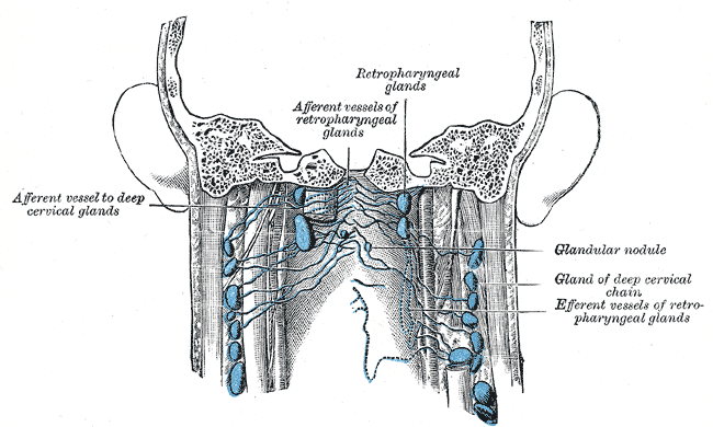 Lymph nodes of the neck; Posterior view, Afferent vessel to deep cervical glands, Afferent vessels of retropharyngeal glands, Retropharyngeal glands, Glandular nodule, Gland of deep cervical chain, Efferent vessels of retropharyngeal glands