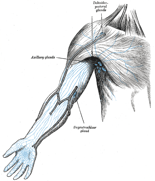 Lymph nodes of the arm, Deltoid pectoral glands, Axillary glands, Supratrochlear gland