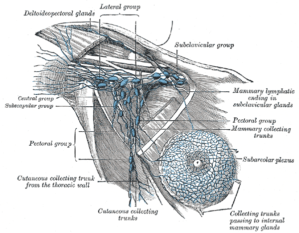 Axillary lymph nodes, Deltoideo Pectoral glands, lateral group, Subclavicular group, Central group, Subscapular group, Pectoral group, Cutaneous collecting trunk fro the thoracic wall, Cutaneous collecting trunks, Subareolar plexus, Pectoral group, Mammary collecting trunks, Mammary lymphatic ending in subclavicular glads