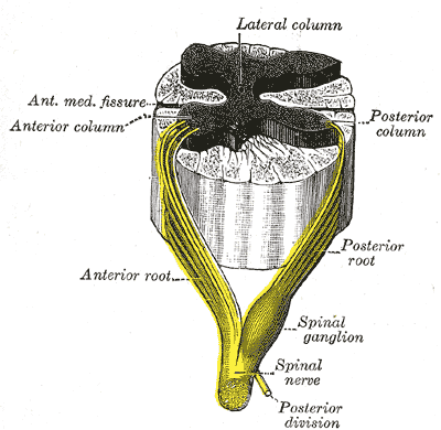 Roots of the Spinal Nerve, Neurology, A spinal nerve with its anterior and posterior roots, Posterior and Anterior column, Anterior Medial fissure, Lateral Column