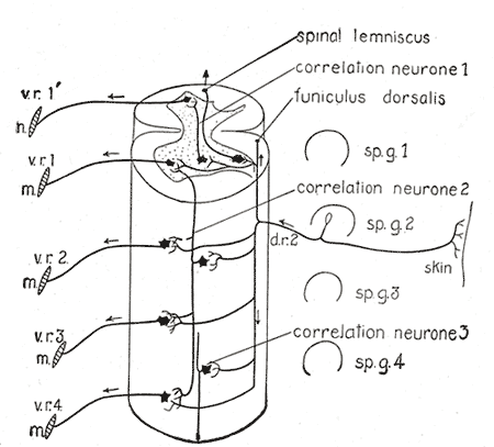 Central Connections of the Spinal, Diagram of the spinal cord reflex apparatus, Spinal lemniscus, Correlation neurone, Funiculus dorsalis