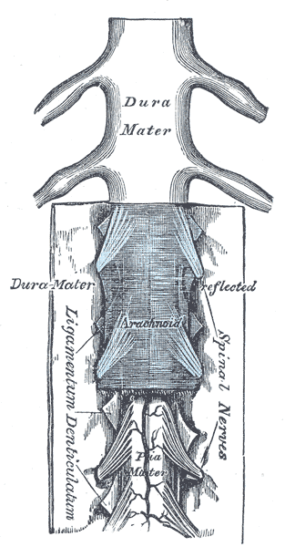 The medulla spinalis and its membranes, Dura Mater, Arachnoid, Spinal nerves, Ligamentum denticulatum, Pia Mater