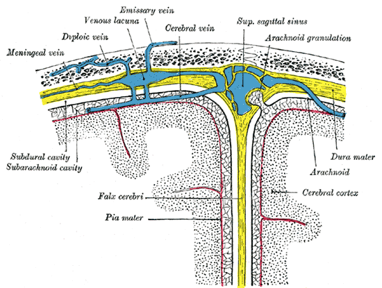 Diagrammatic Cross Section the top of the skull, showing the membranes of the brain, Meningeal vein, Diploic vein, Venous lacuna, Emissary vein, Cerebral vein, Superior sagittal sinus, Arachnoid granulation, Subdural cavity, Subarachnoid cavity, Falx cerebri, Pia mater, Dura mater, Arachnoid, Cerebral cortex