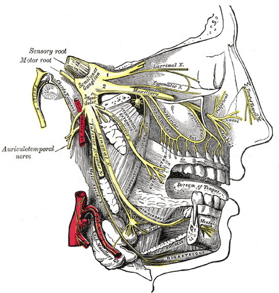 The Trigeminal Nerve, Distribution of the maxillary and mandibular nerves; the submaxillary ganglion
