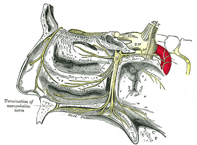 The Trigeminal Nerve, The sphenopalatine ganglion and its branches