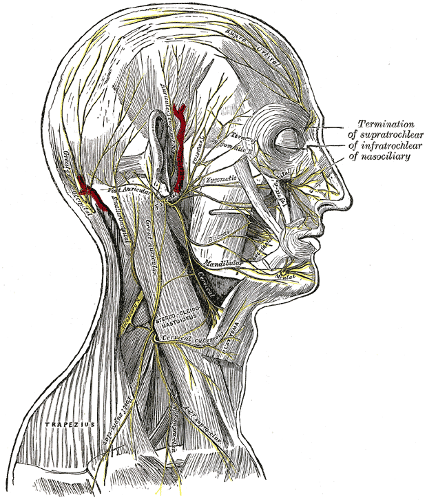 The Facial Nerve,  The nerves of the scalp; face; and side of neck, Termination of Supratrochlear; Infratrochlear; Nasociliary