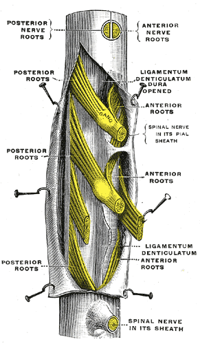 The Spinal Nerves, A portion of the spinal cord; showing its right lateral surface, The dura is opened and arranged to show the nerve roots