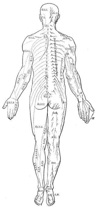 The Spinal Nerves, Distribution of cutaneous nerves; Dorsal aspect