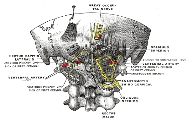 The Posterior Divisions,  Posterior primary divisions of the upper three cervical nerves, Great Occipital Nerve