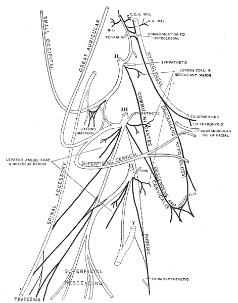 The Anterior Divisions, Plan of the cervical plexus