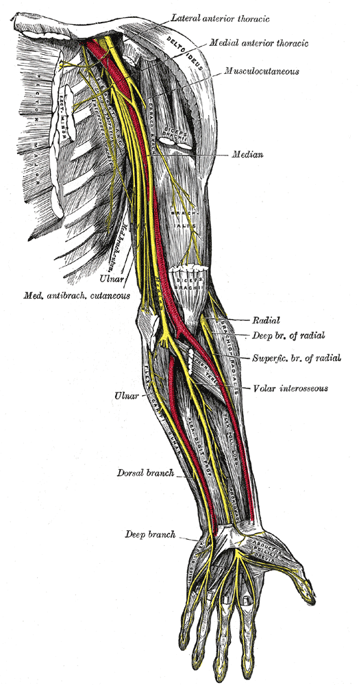The Anterior Division, Nerves of the left upper extremity, Lateral Anterior Thoracic, Medial Anterior Thoracic, Musculocutaneous, Radial, Ulnar, Deep Branch