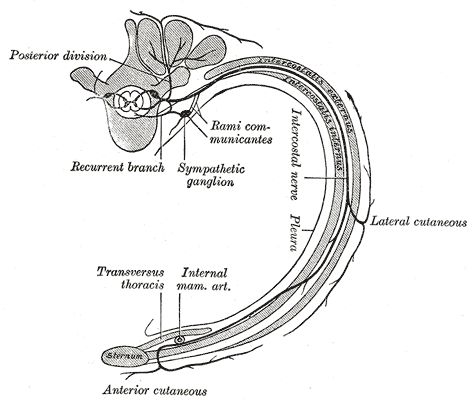 The Thoracic Nerves, Diagram of the course and branches of a typical intercostal nerve, rib