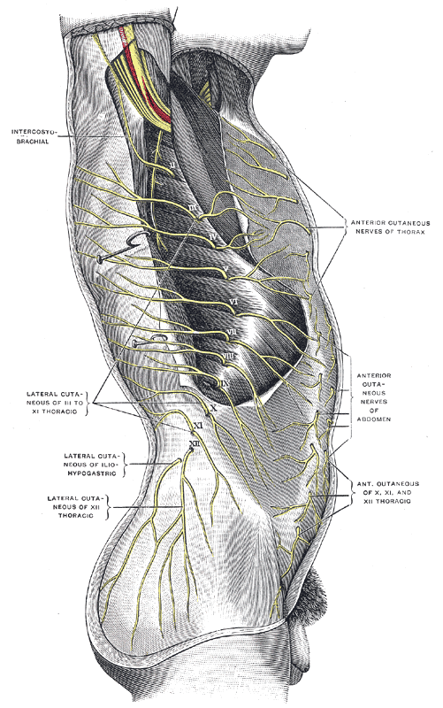 The Thoracic Nerves, Cutaneous distribution of thoracic nerves, Anterior cutaneous nerves of thorax, intercostobrachial, Lateral cutaneous of iliohypogastric, Lateral cutaneous of XII thoracic