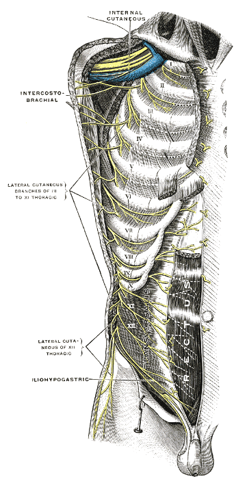 The Thoracic Nerves, Intercostal nerves; the superficial muscles having been removed, Internal cutaneous, Intercostobrachial