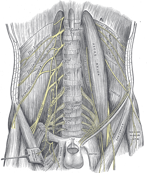 The Lumbosacral Nerves, The lumbar plexus and its branches, Lumbar and Sacral portions of the Spine