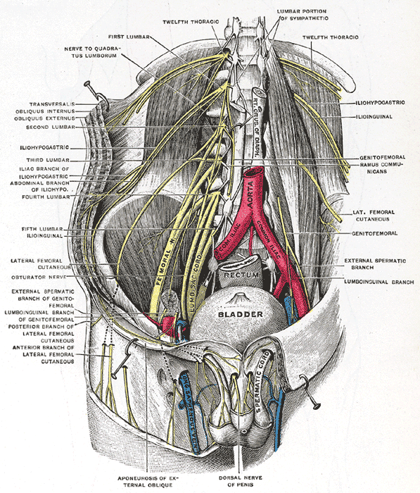 The Lumbosacral Nerves, Deep and superficial dissection of the lumbar plexus, Bladder, Rectum, Aorta, Femoral Nerve, Lumbar Sacral Cord