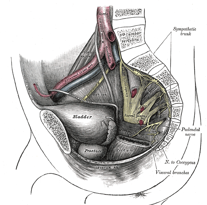 The Sacral and Coccygeal Nerves, Dissection of Side Wall of Pelvis Showing Sacral and Pudendal Plexuses, Sympathetic Trunk, Pudendal Nerve, Nerve to Coccygeus, Visceral Branches