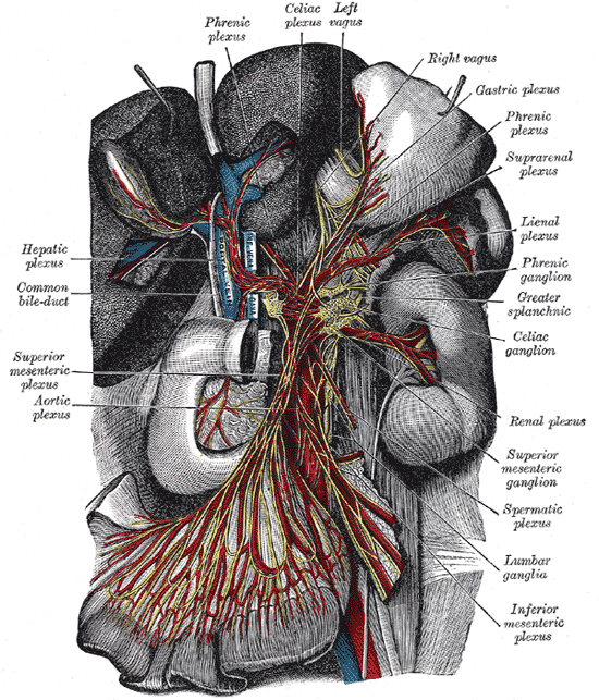 The Great Plexus of the Sympathetic System, The celiac ganglia with the sympathetic plexuses of the abdominal viscera radiating from the ganglia