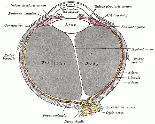 The Tunics of the Eye, Horizontal section of the eyeball, Vitreous Body, Lens, Ciliary body, Zonular spaces, Hyaloid canal, Rectus Medialis, Sclera, Choroid, Retina, Anterior Centralis retinae, Optic nerve, Nerve sheath, Fovea centralis