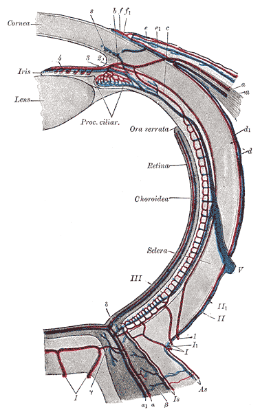 The Tunics of the Eye, Diagram of the blood vessels of the eye, as seen in a horizontal section