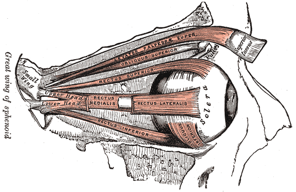 The Accessory Organs of the Eye, Muscles of the right orbit, Levator Palpebrae Superior, Oblique Superior, Rectus Superior, Rectus Lateralis, Rectus Medialis, Rectus Inferior, Obliquus inferior