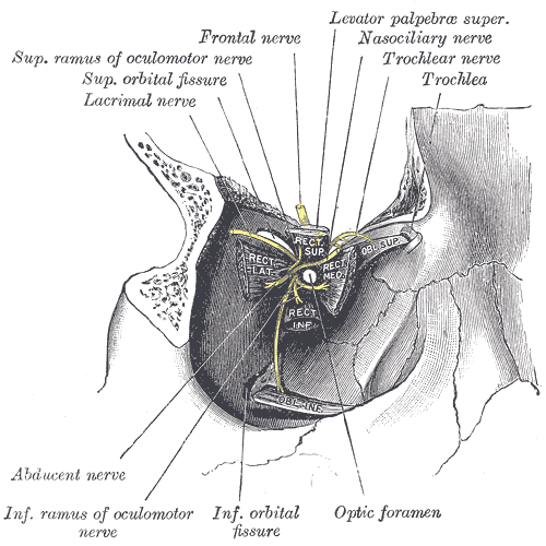 The Accessory Organs of the Eye, Dissection showing origins of right ocular muscles, and nerves entering by the superior orbital fissure, Superior Ramus of Oculomotor nerve, Superior Orbital fissure, Lacrimal nerve, Frontal nerve, Levator palpebrae superior, Nasociliary nerve, Trochlear nerve, Trochlear, Abducens nerve, Inferior ramus of oculomotor nerve, Inferior orbital fissure, Optic foramen