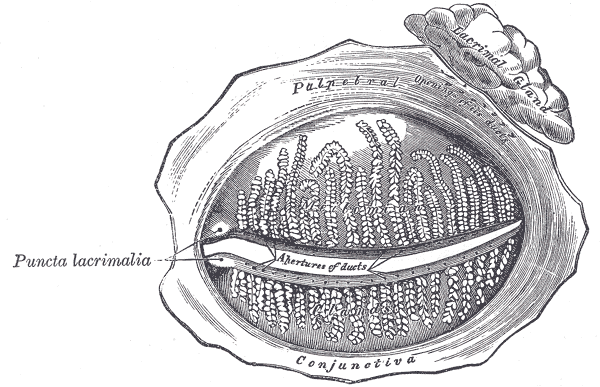 The Accessory Organs of the Eye, The tarsal glands; seen from the inner surface of the eyelids, Puncta lacrimalia, Palpebral conjunctiva,