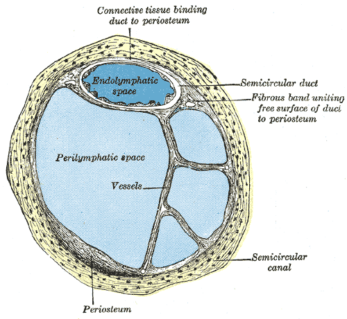 The Internal Ear or Labyrinth, Transverse section of a human semicircular canal and duct, Endolymphatic space, Perilymphatic space, Fibrous band uniting free surface of duct to periosteum