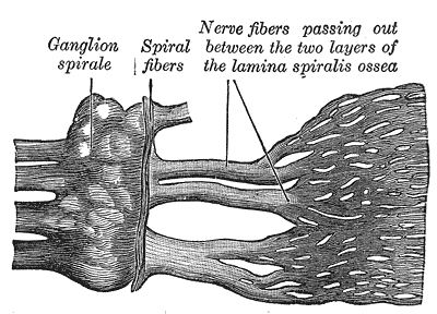 The Internal Ear or Labyrinth, Part of the cochlear division of the acoustic nerve, Ganglion spirale, Spiral fibers