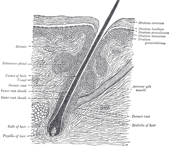 The Common Integument,  Section of skin showing the epidermis and dermis; a hair in its follicle; the Arrector pili muscle; sebaceous glands
